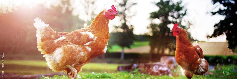 Fototapeta hen and chicken birds on farm livestock concept