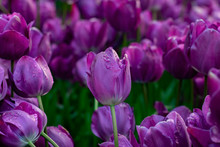 Beautiful Purple Tulips With W...