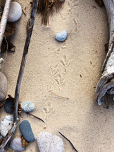 Bird Tracks On The Beach With ...