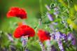 Red poppy field in spring