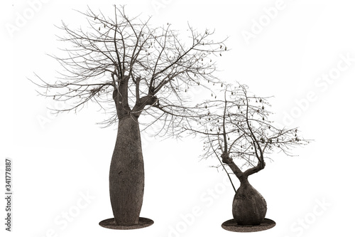 Obraz na plátně Two large baobabs in the shape of a bottle and dry spreading branches, close-up on a white background