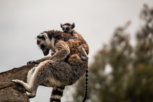 Lemurs. The Child Hugs The Mot...