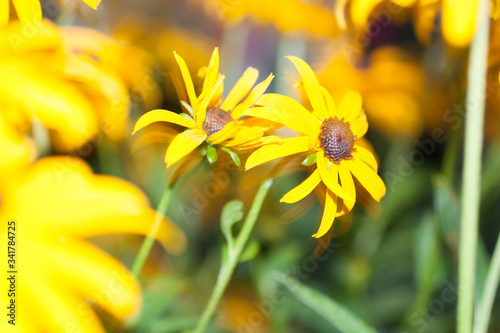 Blackeyed Susan Flowers Fototapet