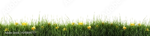 Fototapeta Fresh green grass and flowers on white background, banner design. Spring season obraz