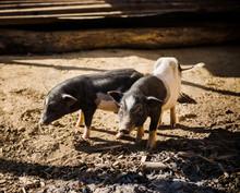 Pigs In A Farm In Ban Yang Vil...