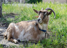 The Goat Is Eating Grass. The Goat Lies On The Grass.