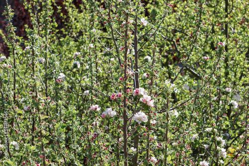 Photo Spitze eines Apfelbaums im Frühling bei Tag
