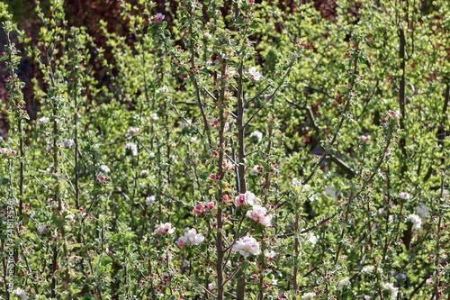 Spitze eines Apfelbaums im Frühling bei Tag Wallpaper Mural