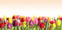 Many Beautiful Tulips On Light Background. Banner Design