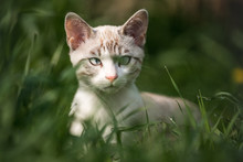 Snow Bengal Kitten In High Grass