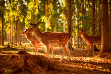 Young Spotted Deer In The Forest