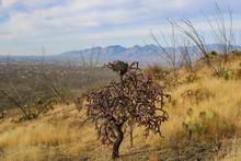 Bird Nest In Cholla Cactus Wit...