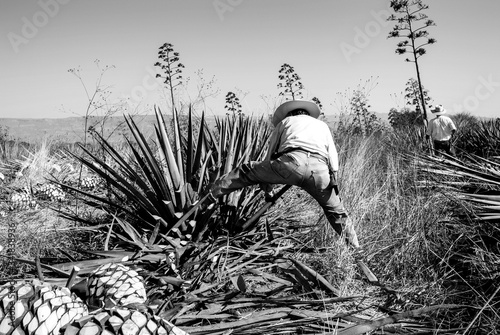 Canvas Print Man working on agave cutting for the tequila industry.