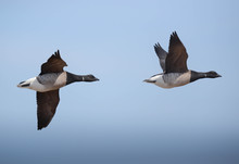 The Brant Goose. They Feed On Seaweed, Zostera Marina A Common Name For Eel-grass. This Birds Uses Defensive Pose During Flight.