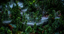 Dewey Spider Webs In The Bush