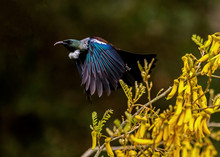 Tūī Takes Off In Flight From...