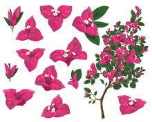 Bougainville Plant Of Mexico, ...