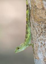 Okinawan Tree Lizard ( Japalur...