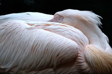 Close-up Of Pelican Resting At...