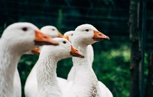 Close-up Of White Geese On Field
