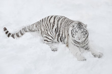 White Tiger Lying In The Snow ...