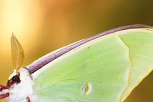 Close-up Of Luna Moth