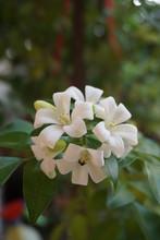 Close Up Orange Jasmine, White Flowers.