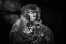 Mother Monkey Holding Baby Mon...