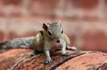 Close-up Portrait Of Squirrel ...