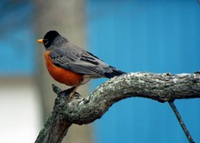 Close-up Of American Robin Perching On Tree