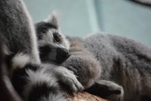Close-up Of Lemur Relaxing