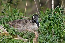 Brütende Kanadagans (Branta Canadensis) Auf Dem Nest - Breeding Canada Goose (Branta Canadensis) On The Nest