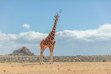 Reticulated Giraffe In Kenya