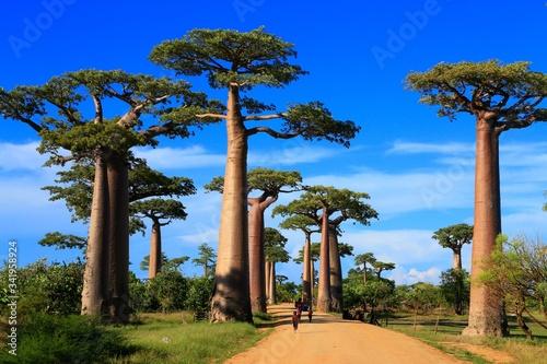 Fototapeta バオバブ街道, マダガスカル, アフリカ