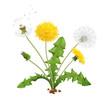 Realistic Dandelion Flower Composition