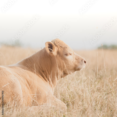 Fotografia cows in the field at the sunset