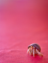Close-up Of Hermit Crab On Pink Fabric