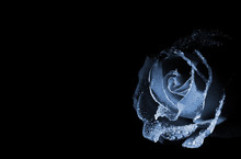 Blue Rose In The Dark With Drops Of Water