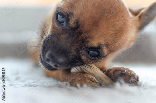 Closeup of a brown chihuahua chewing a natural deer antler Canvas Print