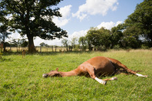 Pretty Chestnut Horse Lying Flat Out In Grassy Field On A Sunny Summers Day.