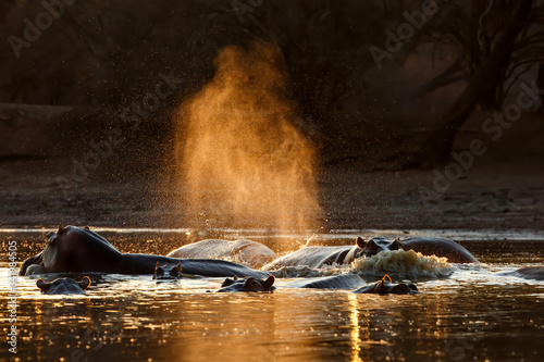 hippopotamus makes water spray with backlight during sunset  in a pool in Mana P Canvas Print