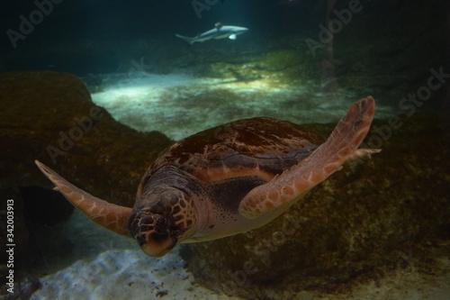 Fototapeta Nurkujący żółw z rekinem w tle obraz