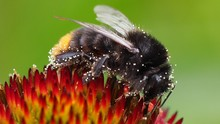 Close-up Of Bumblebee On Flower