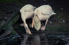 Pelicans Hunting In Pond At Edinburgh Zoo
