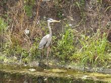 Great Blue Heron In The Marsh