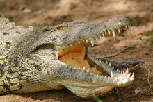 Close-up Of Crocodile Sunbathing On Field