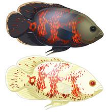 Set Of Aquarium Oscar Fish. Isolated On White Background