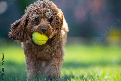 Harry the Cavapoo Dog with his green tennis ball and windswept hair looking happ Slika na platnu