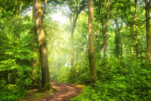 Green Forest With Wafts Of Mis...