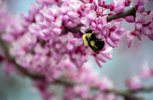 Beautiful Red Bud Tree Blooms Quickly Attract The Busy Bumble Bees As They Gather Pollen In Missouri. Bokeh.